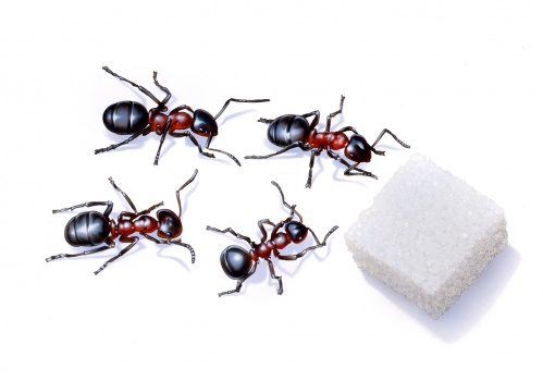 Ants eating sugar working insects insekter myror socker